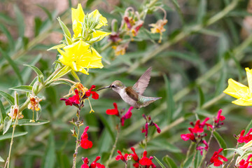 Anna's Hummingbird hovering mid flight, feeding on bright red flowers, with green foliate and yellow blossoms in the background. In Arizona's Sonoran desert.
