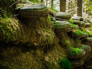 Baumpilze mit Moos im Bayrischen Wald
