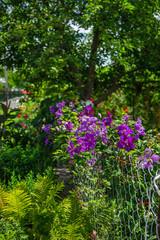 Blooms clematis blue-purple flowers.