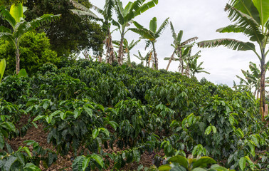 Coffee plantation in Jerico, Colombia in the state of Antioquia.