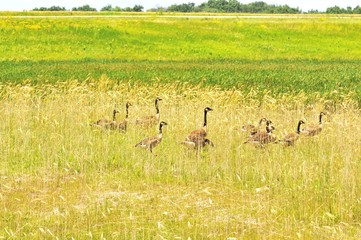 Geese in Wheat