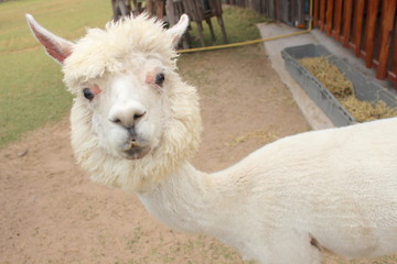 Alpaca in the farm