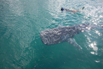 Woman snorkeling with a whale shark