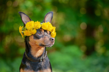 Сute puppy, a dog in a wreath of spring flowers on a natural background of a green forest, a portrait of a dog. Spring Summer theme