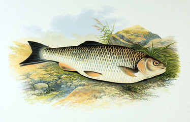 Illustration of fish. chub