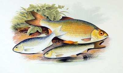 Illustration of fish. azurine, dobule, rudd