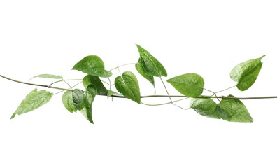 Wild green liana, jungle vine with foliage isolated on white background, clipping path