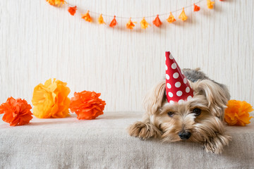 Sad Yorkshire Terrier (Yorkie) Dog in red party hat cap lies on table on the background of festive garland and decor. After party, When the party is over, holiday ended.