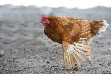Hen in the run