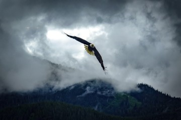 Garden Poster Eagle Bald Eagle