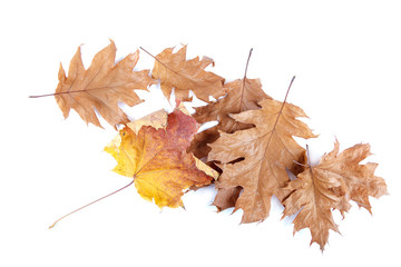 Dry oak and maple leaves on white background