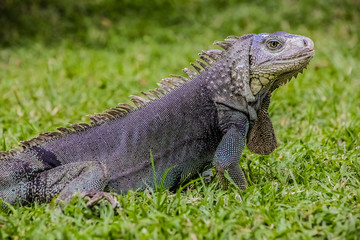 Close up of a Iguana on grass