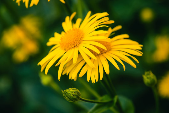 Two beautiful arnica grow in contact close up. Bright yellow fresh flowers with orange center on green background with copy space. Medicinal plants.