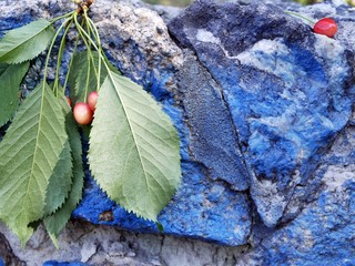 Cherry branch with leaves on the background of the old wall of blue stone