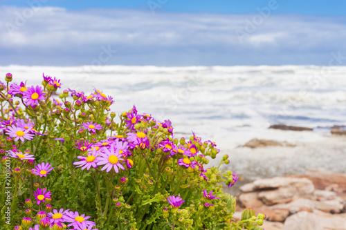 Small pink coastal flowers on the atlantic sea shore stock photo small pink coastal flowers on the atlantic sea shore mightylinksfo