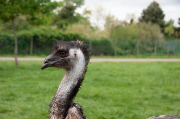 Autruche ou Emeu à Planète sauvage