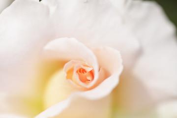 薔薇 スプリングコサージュ