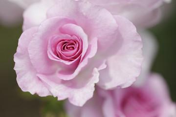 薔薇 コティヨン