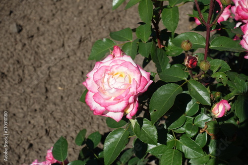 White rose flower with pink edges of petals stock photo and royalty white rose flower with pink edges of petals mightylinksfo