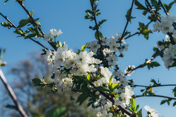 cherry branch with white flowers blooming in early spring in the garden. cherry branch with flowers, early spring