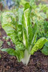 Potager bio - plant de bette ou poirée