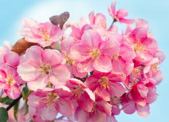 Spring sakura blossom flower twig
