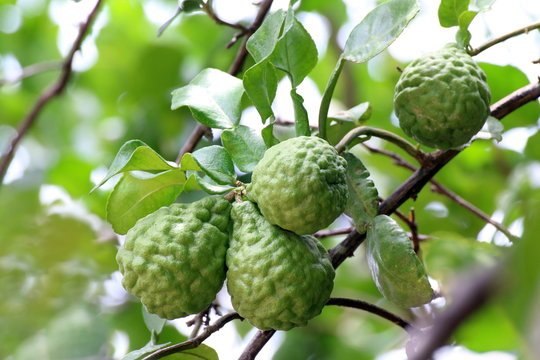 Bergamot, kaffir Lime Leaf farm tree (Herb for Bergamot Oil)