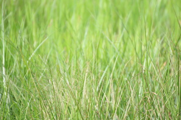 Blurred green grass for background design