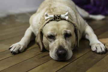 animal de estimação cachorro amarelo