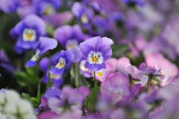 Fotobehang Pansies 花