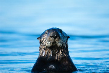 Portrait of sea otter