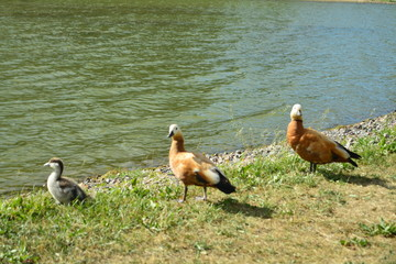 Ducks famaly