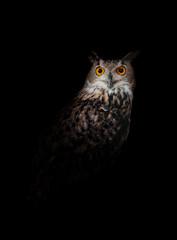 Photo sur Plexiglas Chouette Owl standing in the dark night black background
