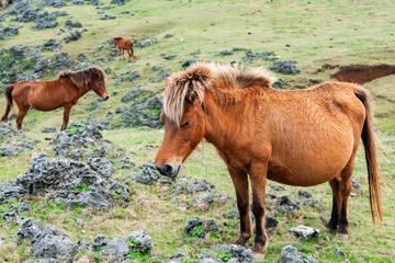 与那国島の与那国馬