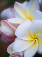 ハワイのプルメリア