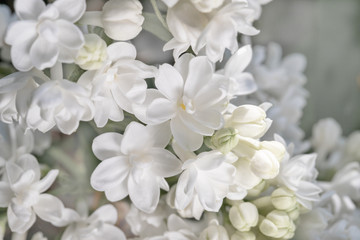 Photo sur Plexiglas Lilac fresh blossomed white lilac with green leaves.