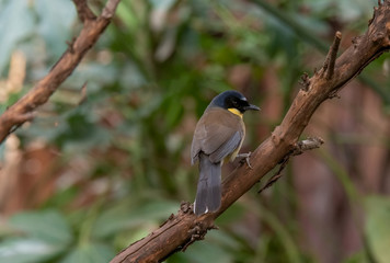A blue-crowned laughingthrush, Garrulax courtoisi, perched on a tree stump.