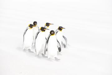 フォークランドのキングペンギン