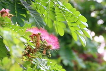 Canvas Prints Roe Jaam ju ree flower (Thai word), Albizia lebbeck rain tree Leguminosae, Samanea saman, genus Pithecolobium (Selective focus)