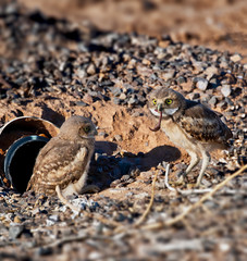 Two burrowing owlets, one with a worm breakfast