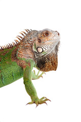 Iguana on white background