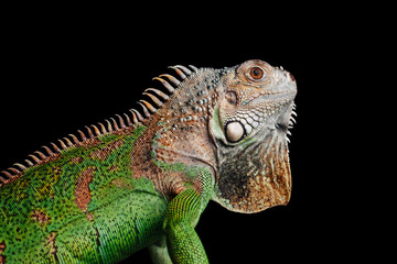 iguana on black background