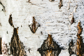 Detailed texture of bark of birch in macro. Unusual fragment of spotted betula surface with copy space. Injury of tree close up. Beautiful relief of tree with ant.