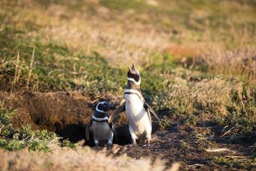 フォークランドのマゼランペンギン