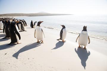 海辺のジェンツーペンギン