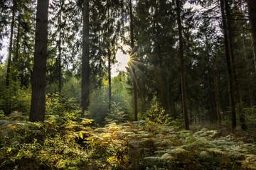 forêt ensoleillée, France