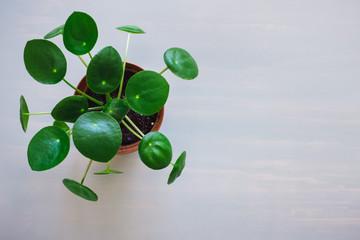 Pilea Plant on Grey Table
