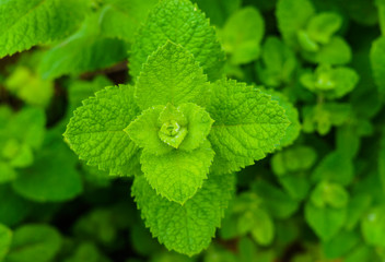 Bright green mint leaves, in the garden