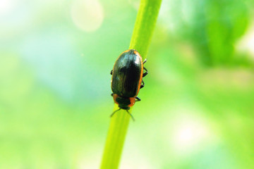 Black-red beetle on a grass-blossom macro green blurred background, an insect in nature on a sunny day