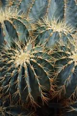 glaucous barrel cactus